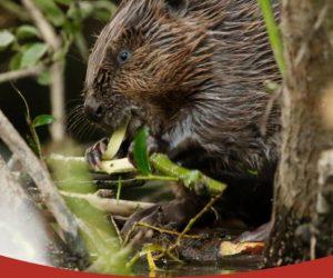 Beaver Trust Education Pack