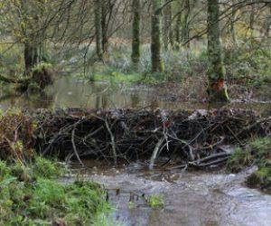 Build a beaver dam